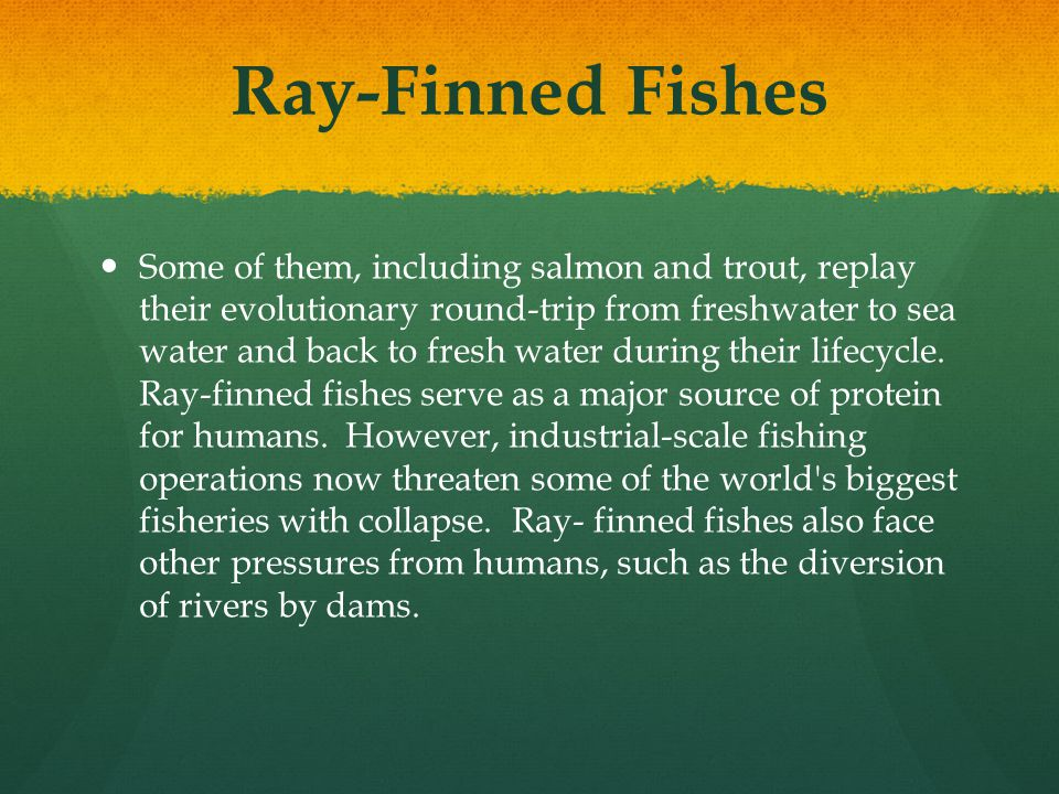 Ray-Finned Fishes Some of them, including salmon and trout, replay their evolutionary round-trip from freshwater to sea water and back to fresh water
