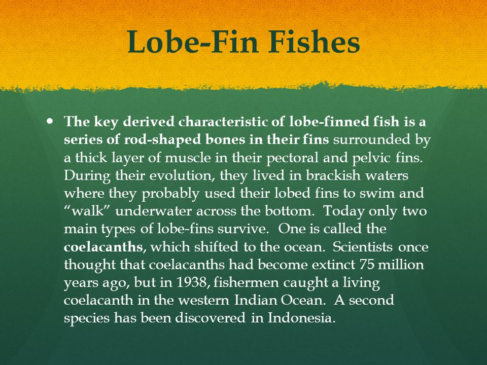 Lobe-Fin Fishes The key derived characteristic of lobe-finned fish is a series of rod-shaped bones in their fins surrounded by a thick layer of muscle