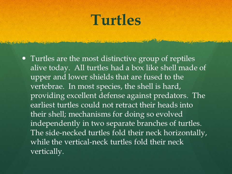 Turtles Turtles are the most distinctive group of reptiles alive today. All turtles had a box like shell made of upper and lower shields that are fuse