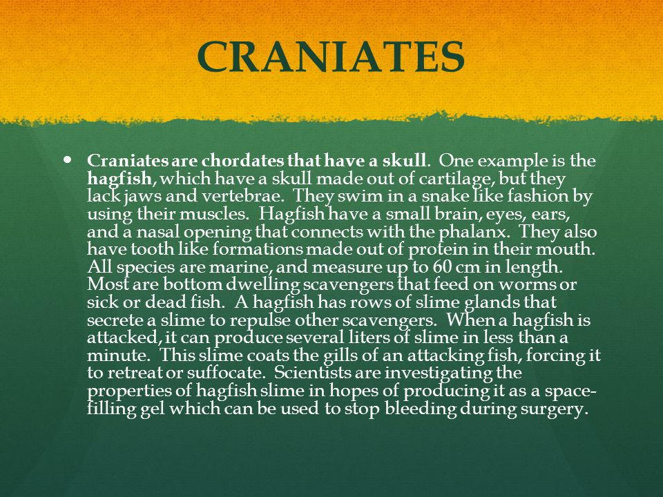 CRANIATES Craniates are chordates that have a skull. One example is the hagfish, which have a skull made out of cartilage, but they lack jaws and vert
