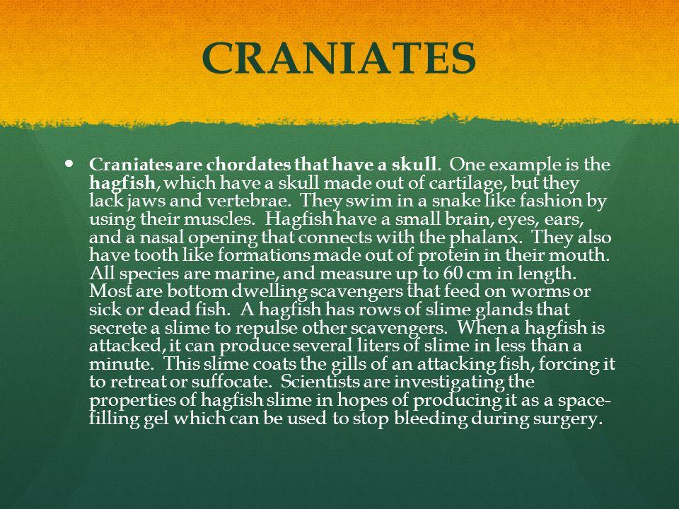 VERTEBRATES Vertebrates are craniates that have a backbone.