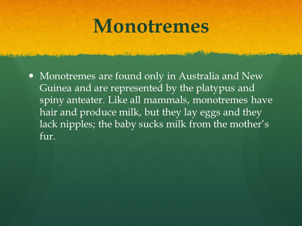 Monotremes Monotremes are found only in Australia and New Guinea and are represented by the platypus and spiny anteater. Like all mammals, monotremes