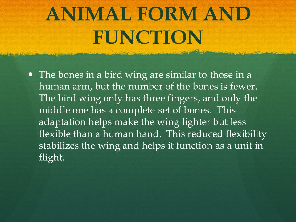 ANIMAL FORM AND FUNCTION The bones in a bird wing are similar to those in a human arm, but the number of the bones is fewer. The bird wing only has th