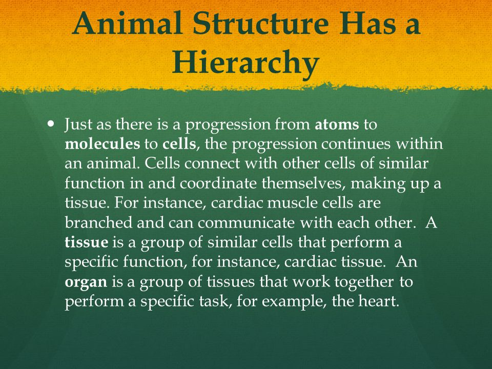 Animal Structure Has a Hierarchy Just as there is a progression from atoms to molecules to cells, the progression continues within an animal. Cells co