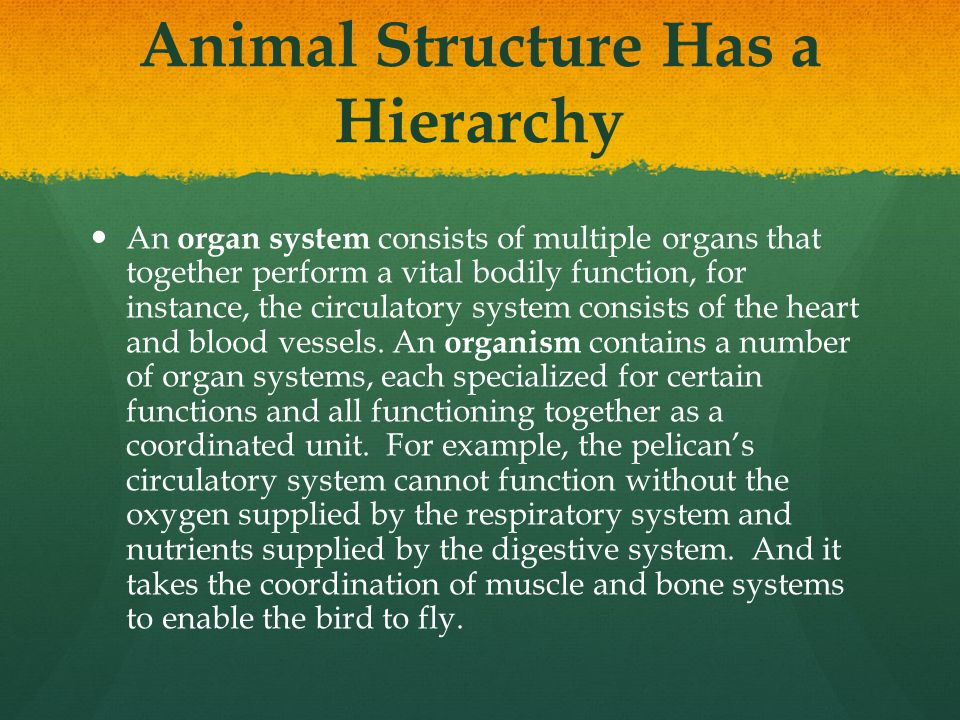 Animal Structure Has a Hierarchy An organ system consists of multiple organs that together perform a vital bodily function, for instance, the circulat