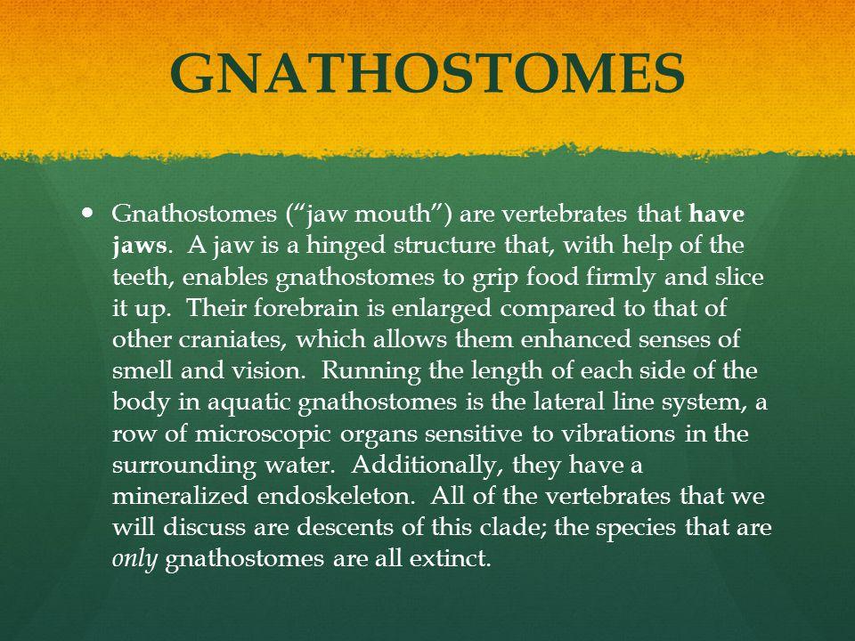 AMNIOTES Amniotes have an amniotic (yolk) egg, such as reptiles (including birds).