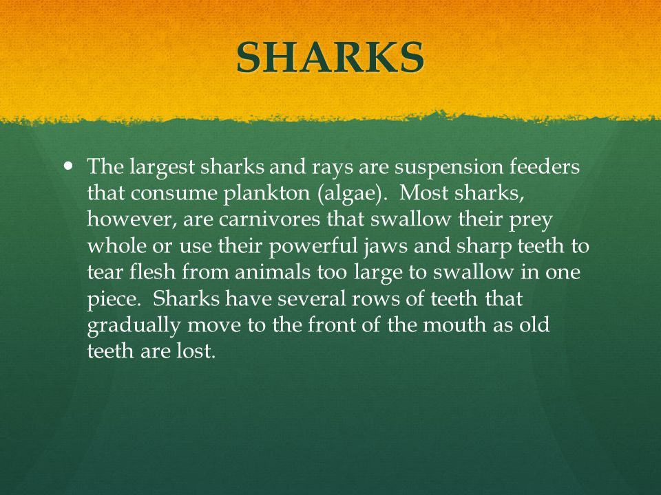 SHARKS The largest sharks and rays are suspension feeders that consume plankton (algae). Most sharks, however, are carnivores that swallow their prey