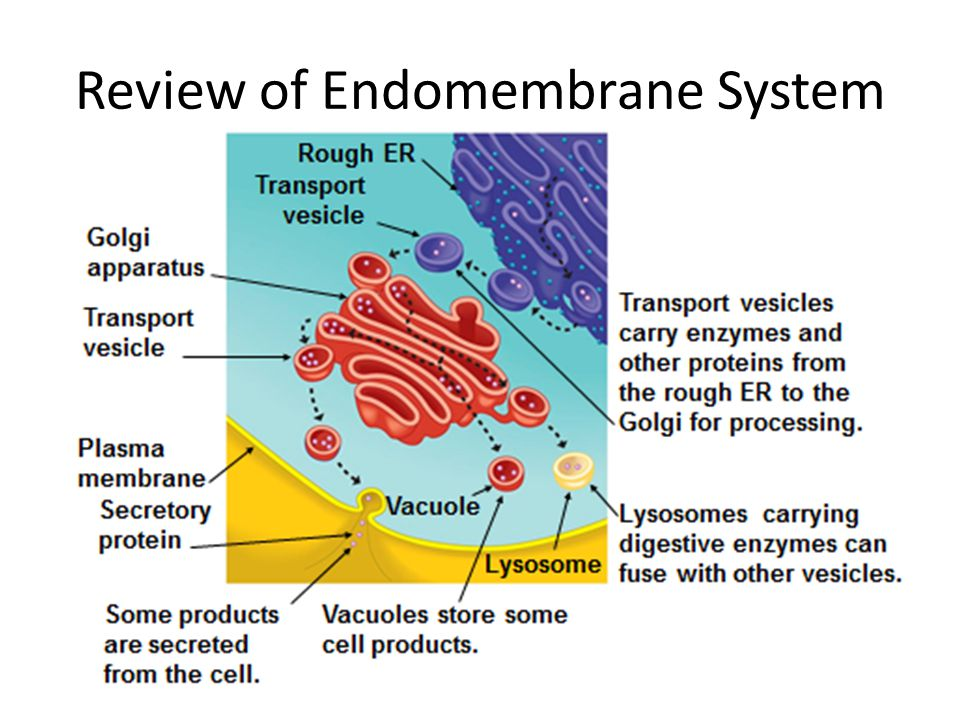 Review of Endomembrane System