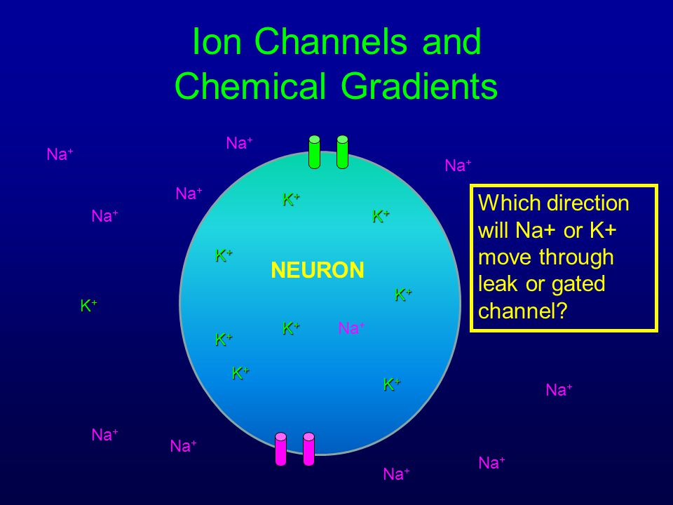 Ion Channels and Chemical Gradients Na + K+K+K+K+ K+K+K+K+ K+K+K+K+ K+K+K+K+ K+K+K+K+ K+K+K+K+ NEURON Which direction will Na+ or K+ move through leak