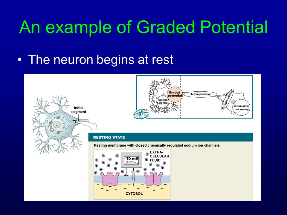 An example of Graded Potential The neuron begins at rest