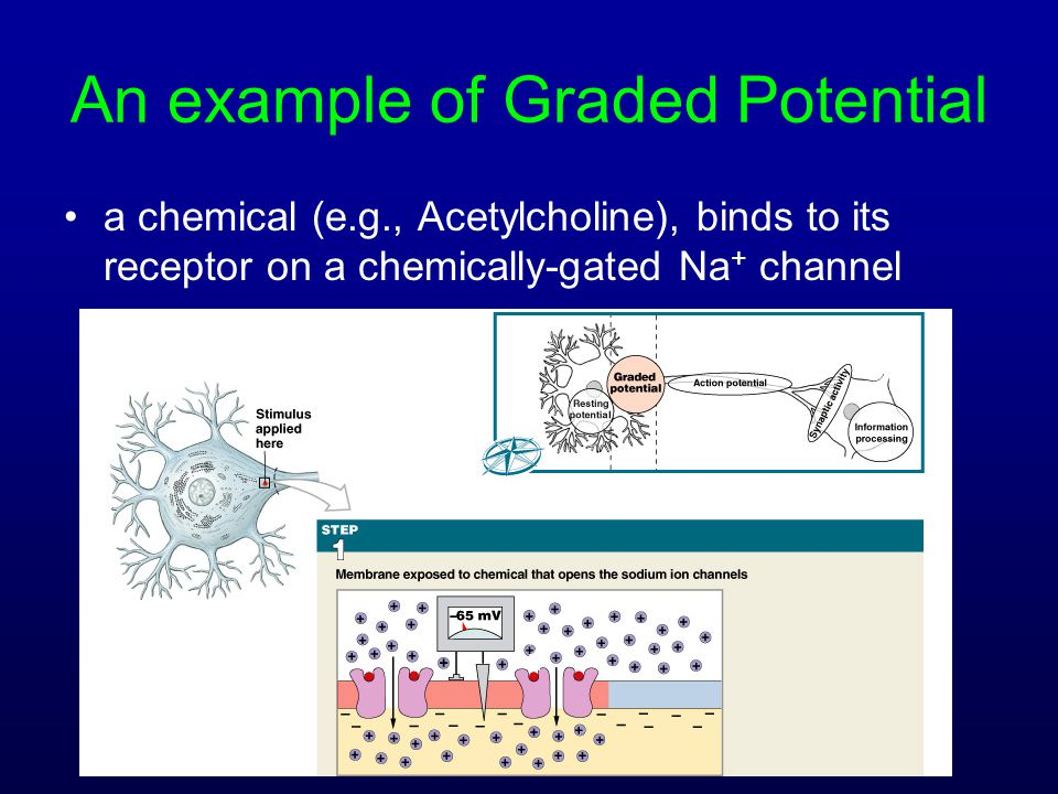 An example of Graded Potential a chemical (e.g., Acetylcholine), binds to its receptor on a chemically-gated Na + channel