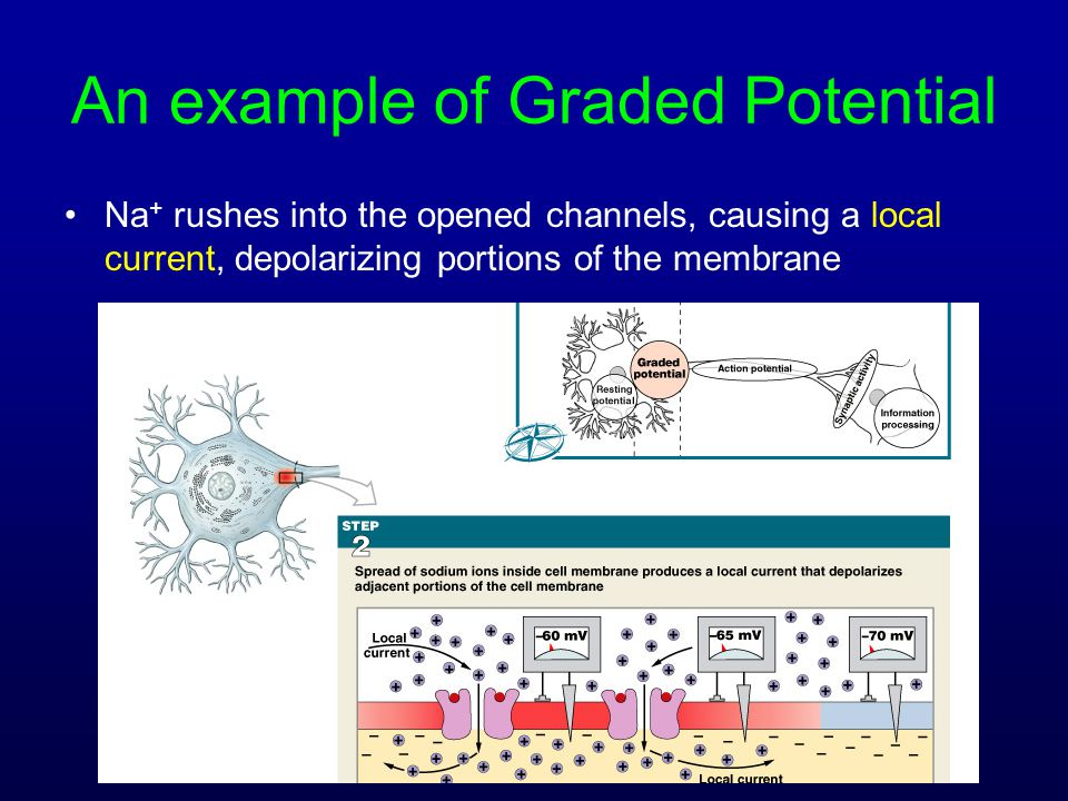 An example of Graded Potential Na + rushes into the opened channels, causing a local current, depolarizing portions of the membrane
