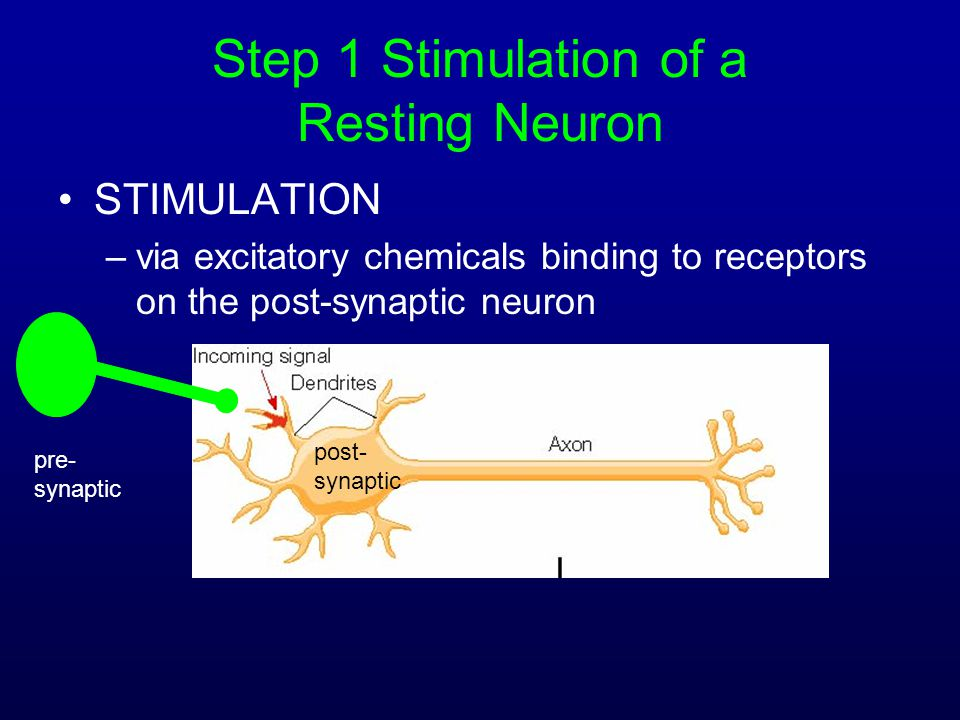 Step 1 Stimulation of a Resting Neuron STIMULATION –via excitatory chemicals binding to receptors on the post-synaptic neuron pre- synaptic post- syna