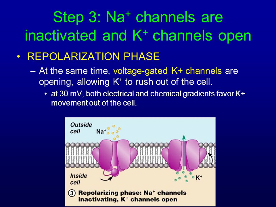 Step 3: Na + channels are inactivated and K + channels open REPOLARIZATION PHASE –At the same time, voltage-gated K+ channels are opening, allowing K