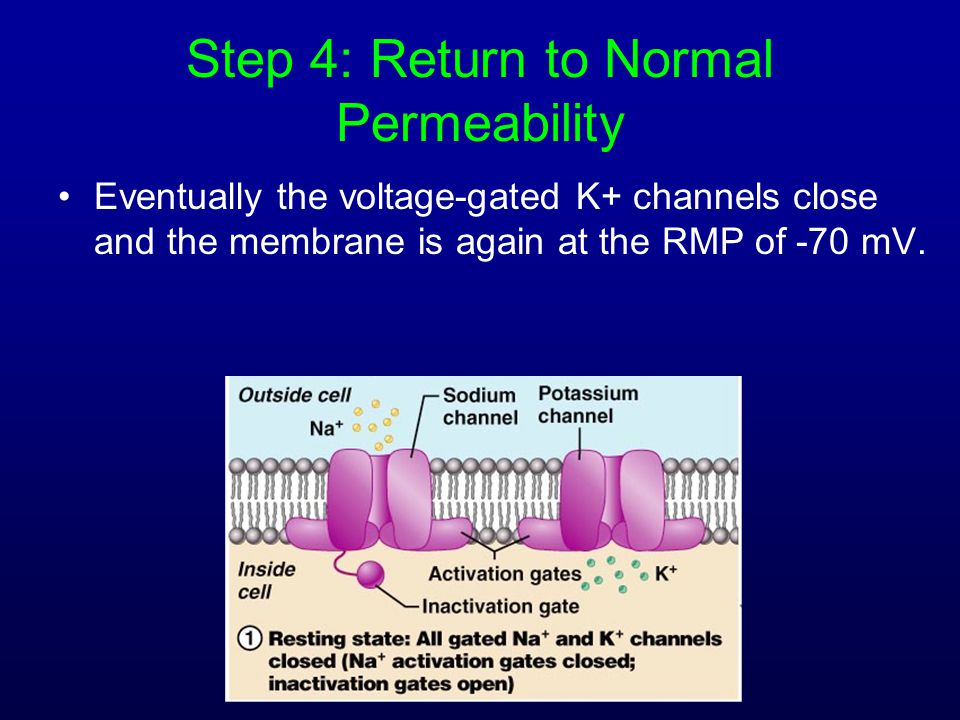 Step 4: Return to Normal Permeability Eventually the voltage-gated K+ channels close and the membrane is again at the RMP of -70 mV.