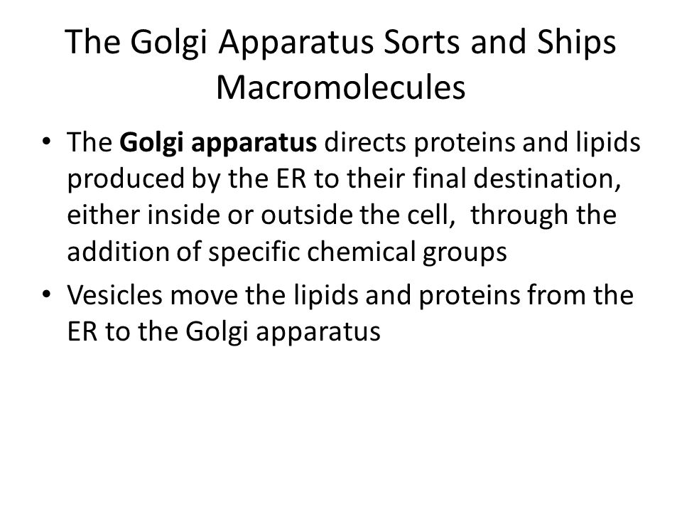 The Golgi Apparatus Sorts and Ships Macromolecules The Golgi apparatus directs proteins and lipids produced by the ER to their final destination, eith