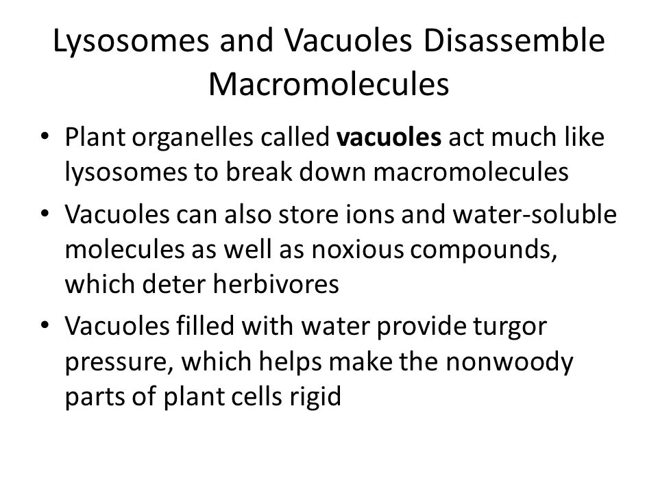 Lysosomes and Vacuoles Disassemble Macromolecules Plant organelles called vacuoles act much like lysosomes to break down macromolecules Vacuoles can a