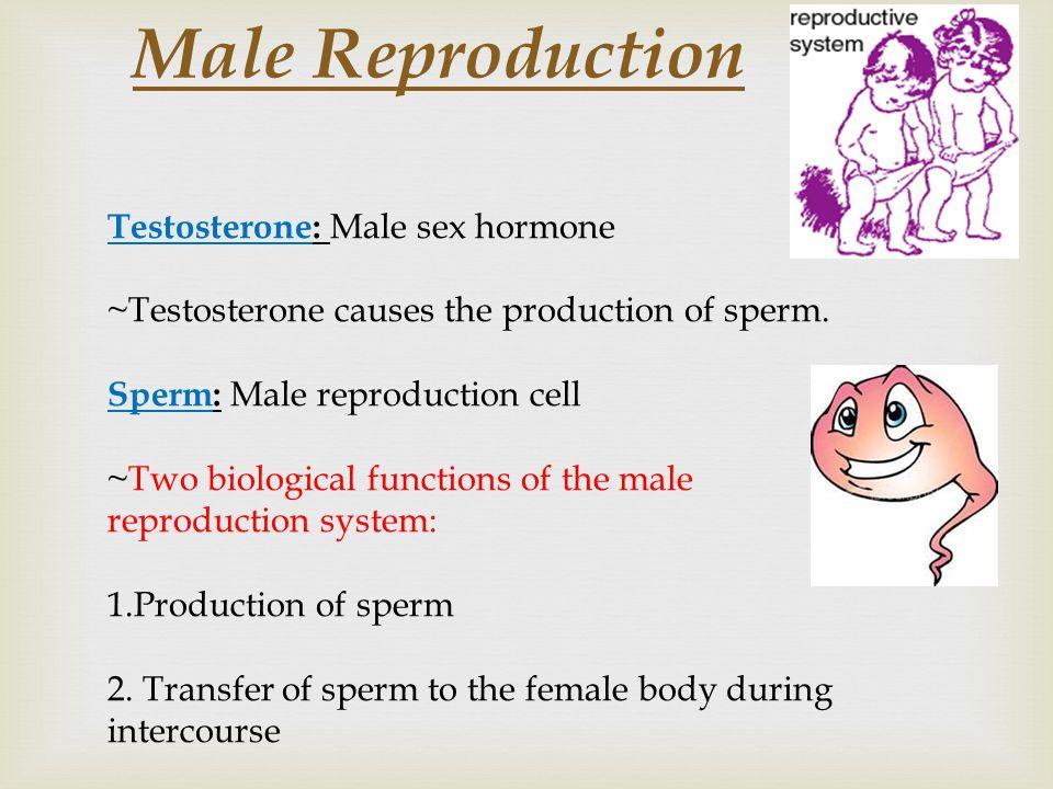 Male Reproduction Testosterone: Male sex hormone ~Testosterone causes the production of sperm.