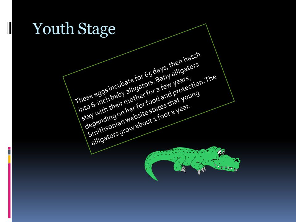 Youth Stage These eggs incubate for 65 days, then hatch into 6-inch baby alligators.