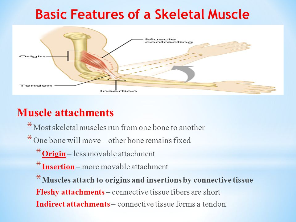 Basic Features of a Skeletal Muscle Muscle attachments * Most skeletal muscles run from one bone to another * One bone will move – other bone remains fixed * Origin – less movable attachment * Insertion – more movable attachment * Muscles attach to origins and insertions by connective tissue Fleshy attachments – connective tissue fibers are short Indirect attachments – connective tissue forms a tendon