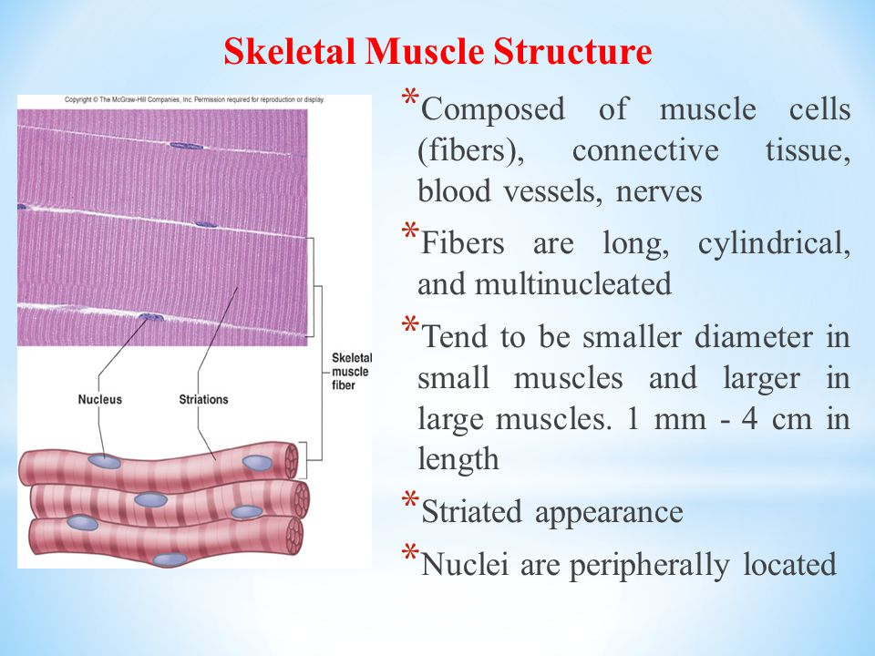 Skeletal Muscle Structure * Composed of muscle cells (fibers), connective tissue, blood vessels, nerves * Fibers are long, cylindrical, and multinucleated * Tend to be smaller diameter in small muscles and larger in large muscles.