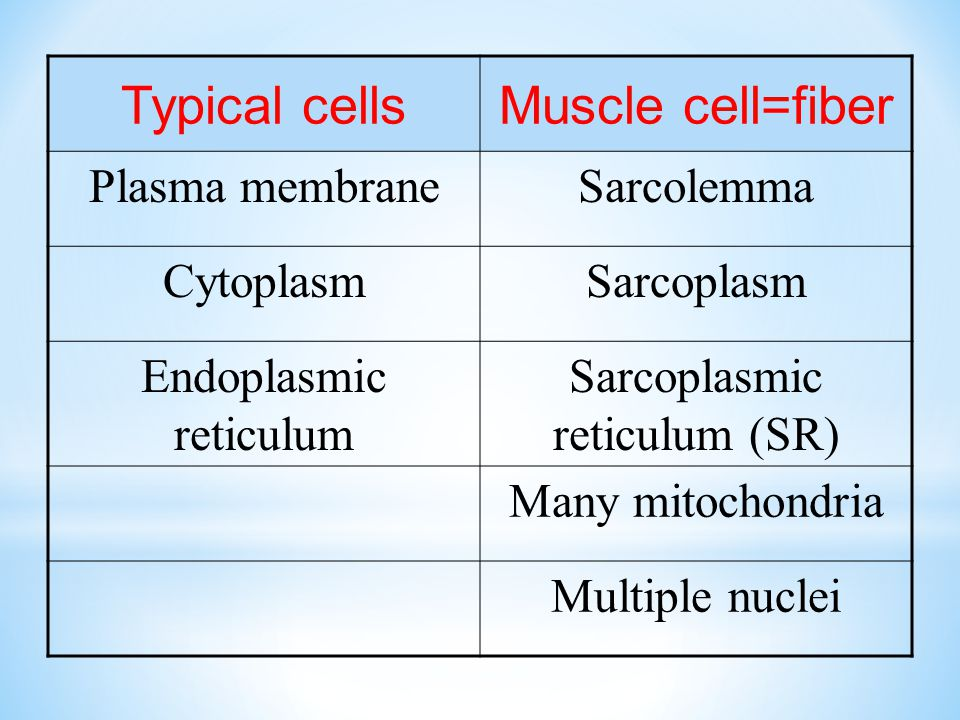 Typical cellsMuscle cell=fiber Plasma membraneSarcolemma CytoplasmSarcoplasm Endoplasmic reticulum Sarcoplasmic reticulum (SR) Many mitochondria Multiple nuclei