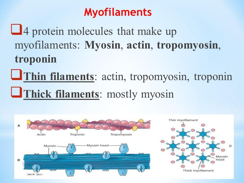 Myofilaments  4 protein molecules that make up myofilaments: Myosin, actin, tropomyosin, troponin  Thin filaments: actin, tropomyosin, troponin  Thick filaments: mostly myosin
