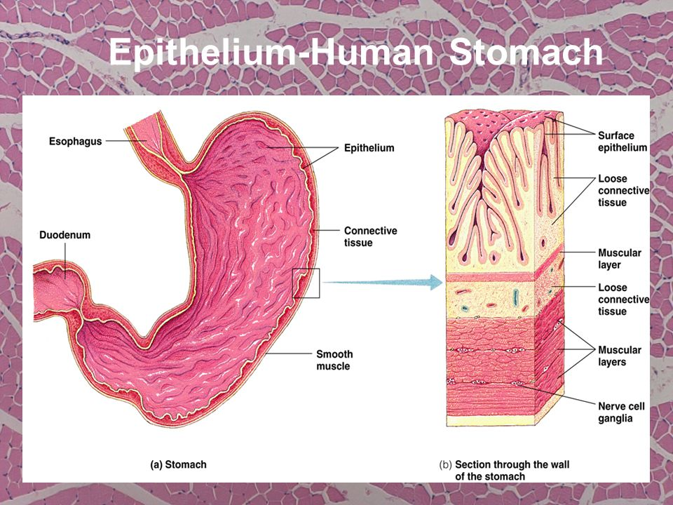 Epithelium-Human Stomach