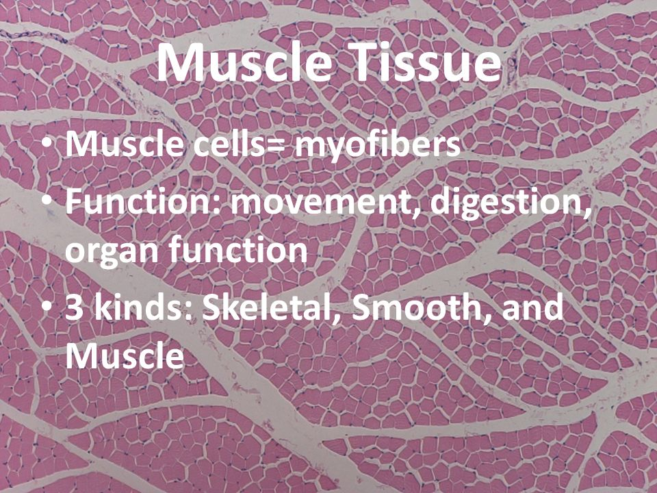 Muscle Tissue Muscle cells= myofibers Function: movement, digestion, organ function 3 kinds: Skeletal, Smooth, and Muscle