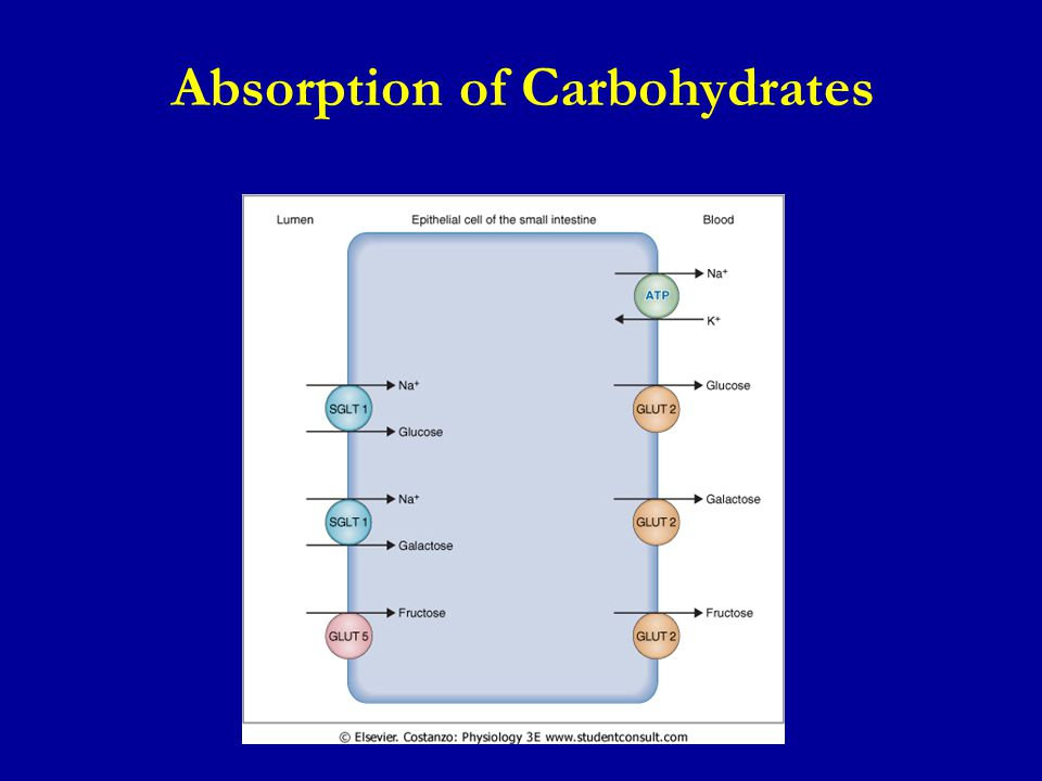 Absorption of Carbohydrates