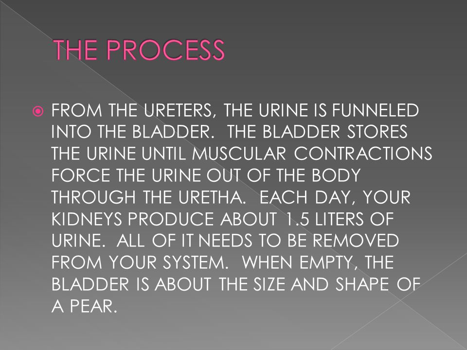  FROM THE URETERS, THE URINE IS FUNNELED INTO THE BLADDER.
