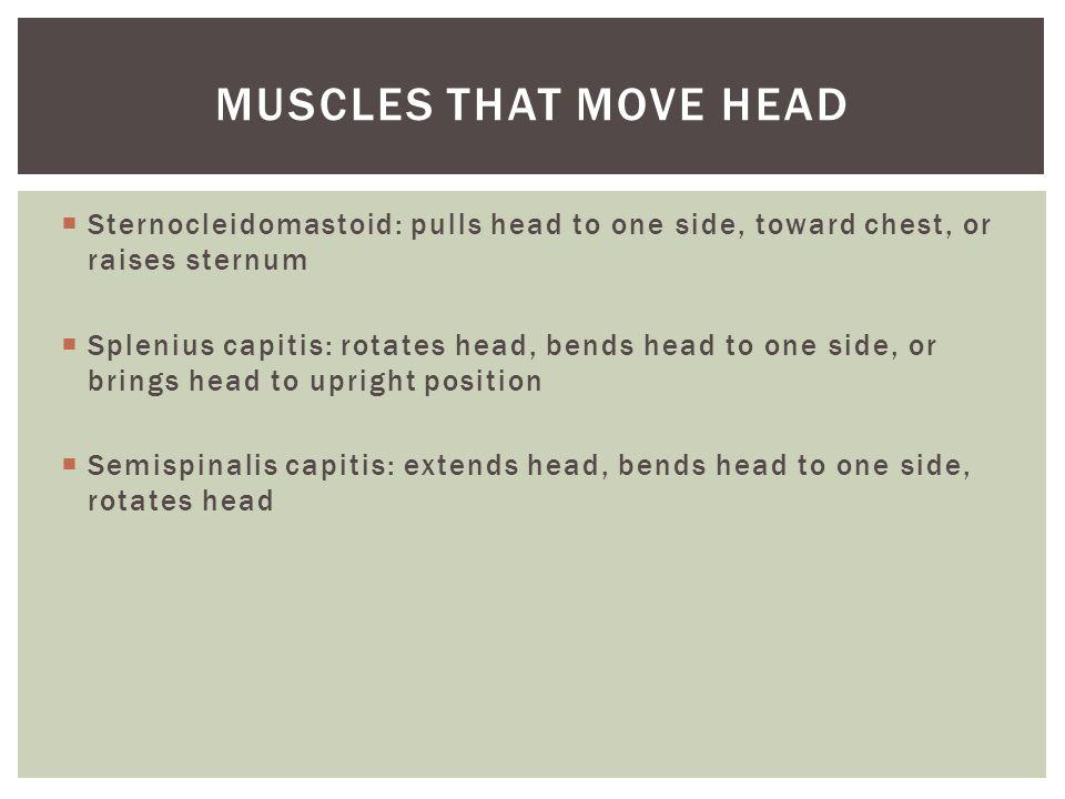  Sternocleidomastoid: pulls head to one side, toward chest, or raises sternum  Splenius capitis: rotates head, bends head to one side, or brings hea
