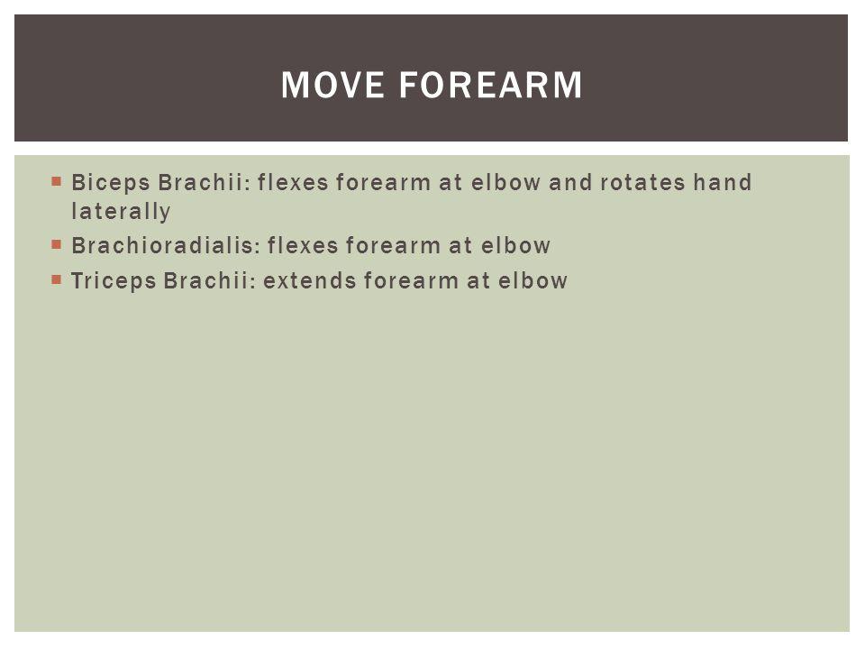  Biceps Brachii: flexes forearm at elbow and rotates hand laterally  Brachioradialis: flexes forearm at elbow  Triceps Brachii: extends forearm at