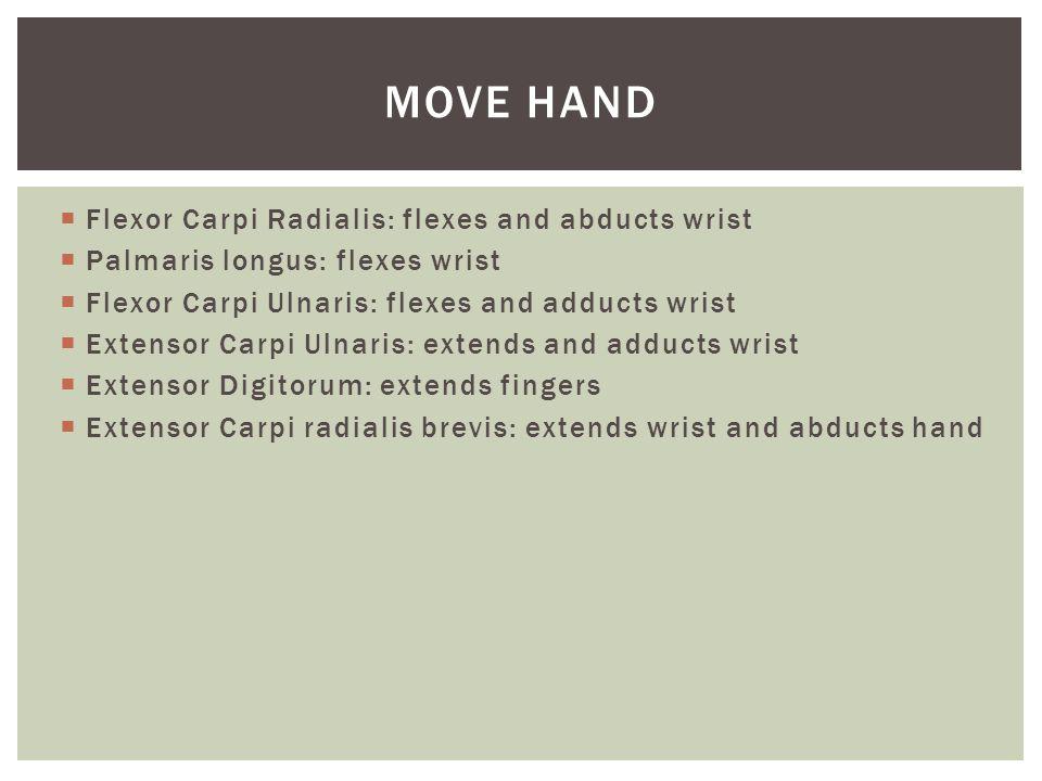  Flexor Carpi Radialis: flexes and abducts wrist  Palmaris longus: flexes wrist  Flexor Carpi Ulnaris: flexes and adducts wrist  Extensor Carpi Ul