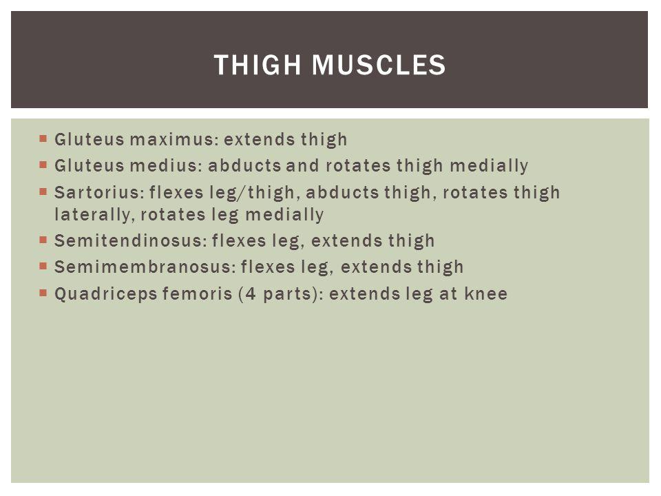  Gluteus maximus: extends thigh  Gluteus medius: abducts and rotates thigh medially  Sartorius: flexes leg/thigh, abducts thigh, rotates thigh late