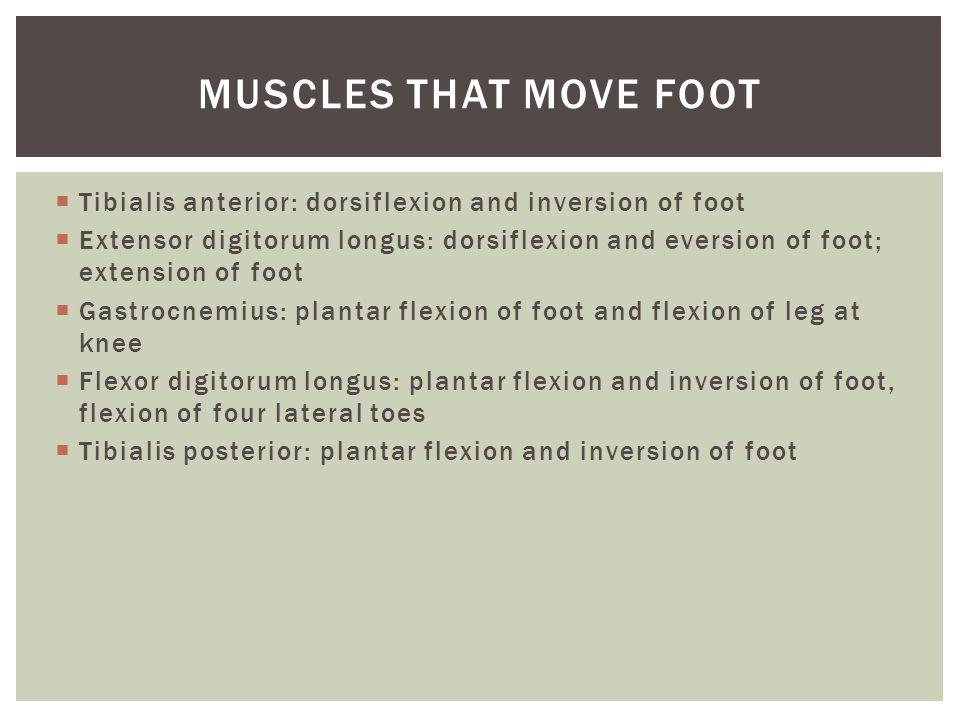  Tibialis anterior: dorsiflexion and inversion of foot  Extensor digitorum longus: dorsiflexion and eversion of foot; extension of foot  Gastrocnem