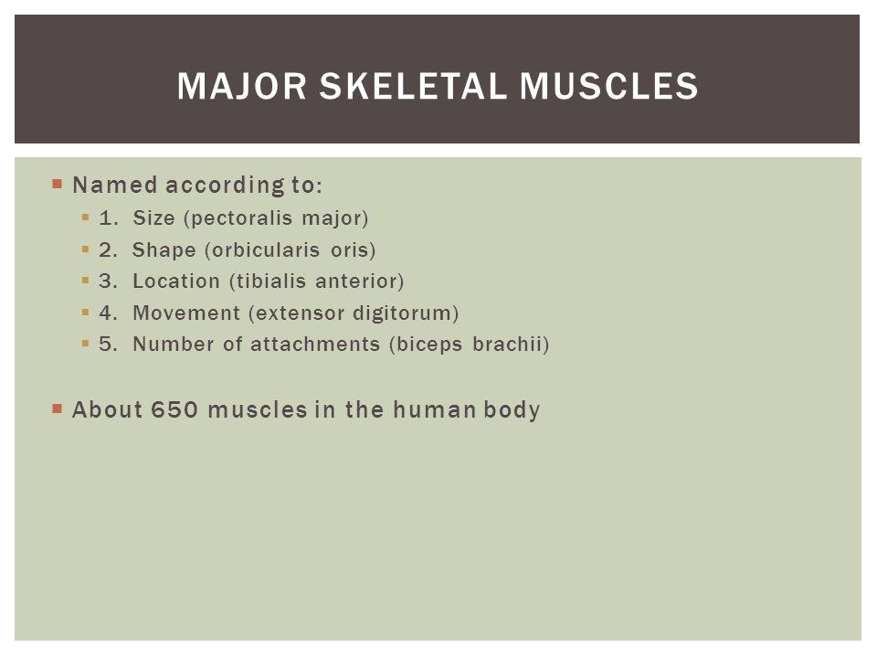  Named according to:  1. Size (pectoralis major)  2. Shape (orbicularis oris)  3. Location (tibialis anterior)  4. Movement (extensor digitorum)
