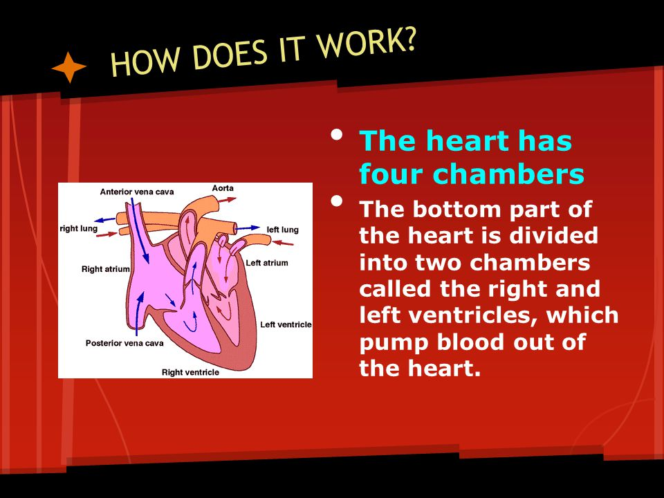 HOW DOES IT WORK? The heart has four chambers The bottom part of the heart is divided into two chambers called the right and left ventricles, which pu