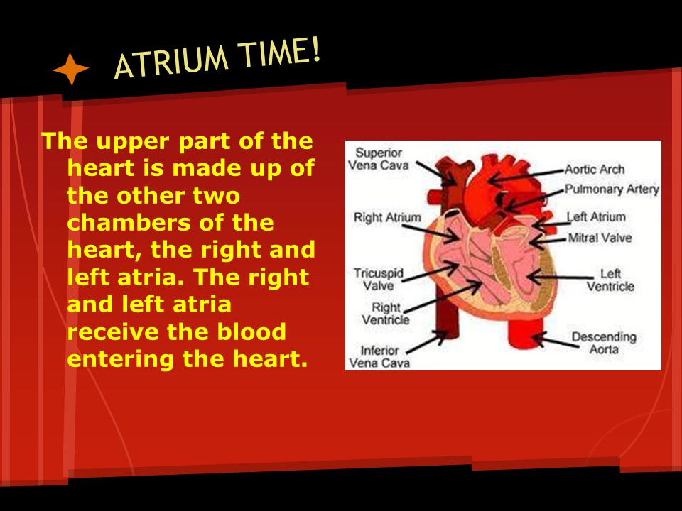 ATRIUM TIME! The upper part of the heart is made up of the other two chambers of the heart, the right and left atria. The right and left atria receive