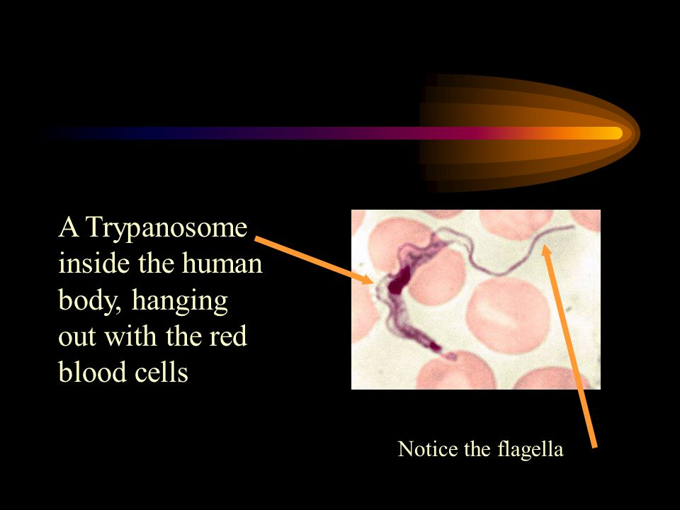 A Trypanosome inside the human body, hanging out with the red blood cells Notice the flagella