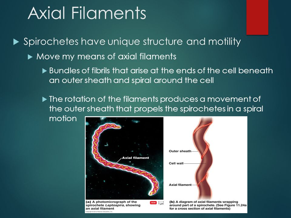 Axial Filaments  Spirochetes have unique structure and motility  Move my means of axial filaments  Bundles of fibrils that arise at the ends of the