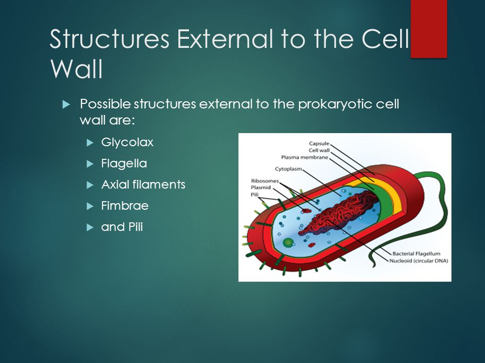 Structures External to the Cell Wall  Possible structures external to the prokaryotic cell wall are:  Glycolax  Flagella  Axial filaments  Fimbra