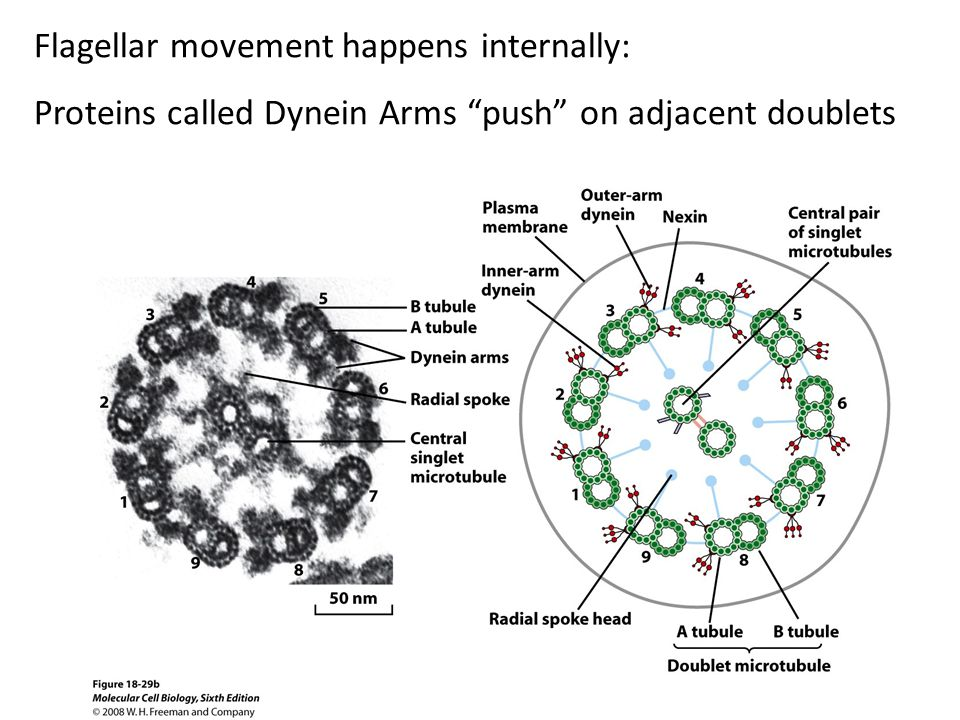 Flagellar movement happens internally: Proteins called Dynein Arms push on adjacent doublets