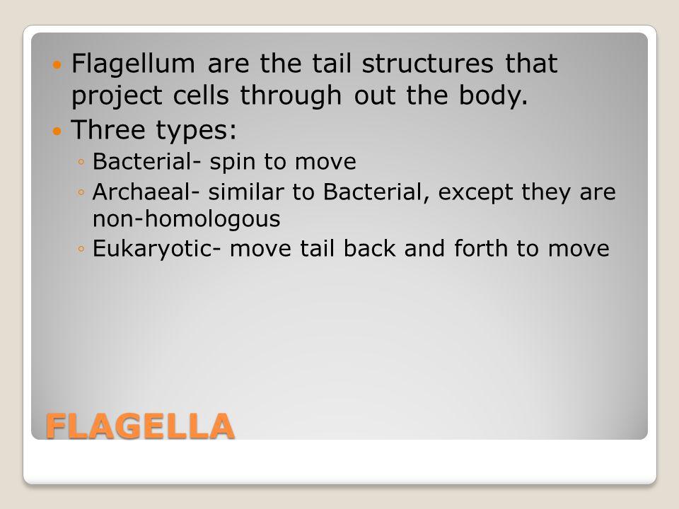CILIA vs. FLAGELLA Flagellum propel a cell Cilia move liquid to where it needs to be