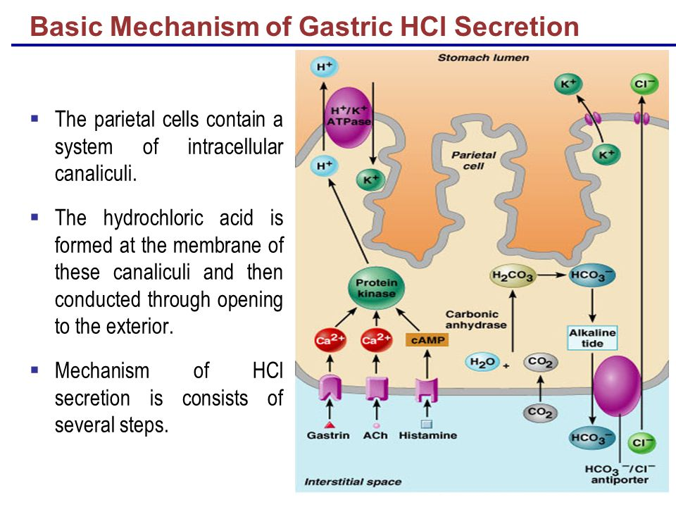 Basic Mechanism of Gastric HCl Secretion  The parietal cells contain a system of intracellular canaliculi.