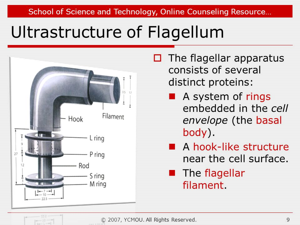 School of Science and Technology, Online Counseling Resource… Ultrastructure of Flagellum  The flagellar apparatus consists of several distinct proteins: A system of rings embedded in the cell envelope (the basal body).