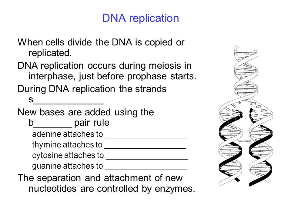 DNA replication When cells divide the DNA is copied or replicated. DNA replication occurs during meiosis in interphase, just before prophase starts. D