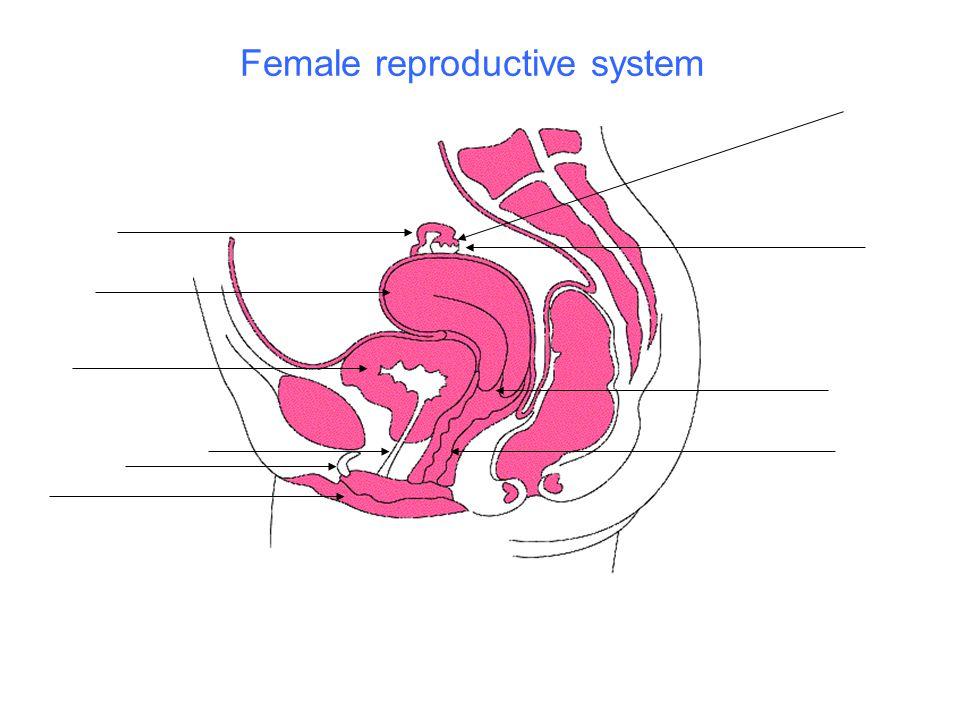 ovary fimbriae uterine tube uterus bladder urethra clitoris labia cervix vagina