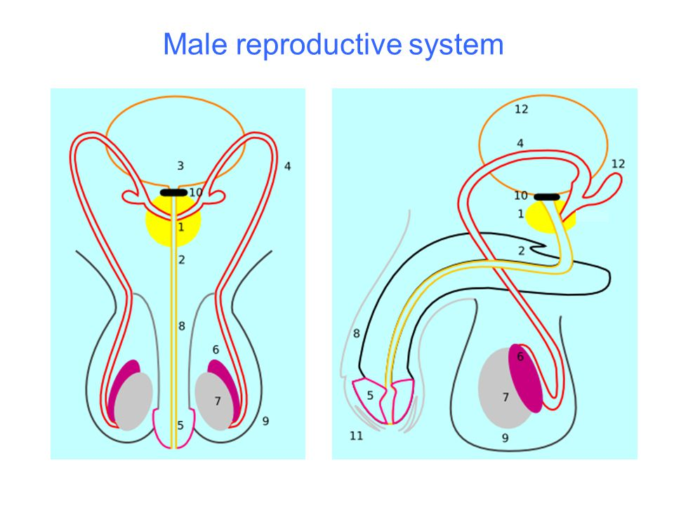 1 = prostate 2 = urethra3 = bladder 4 = vas deferens5 = penis glans/head6 = epididymis 7 = testes8 = penis/ erectile tissue9 = scrotum 10 = urinary sphincter11 = foreskin/prepuce12 = seminal vesicles