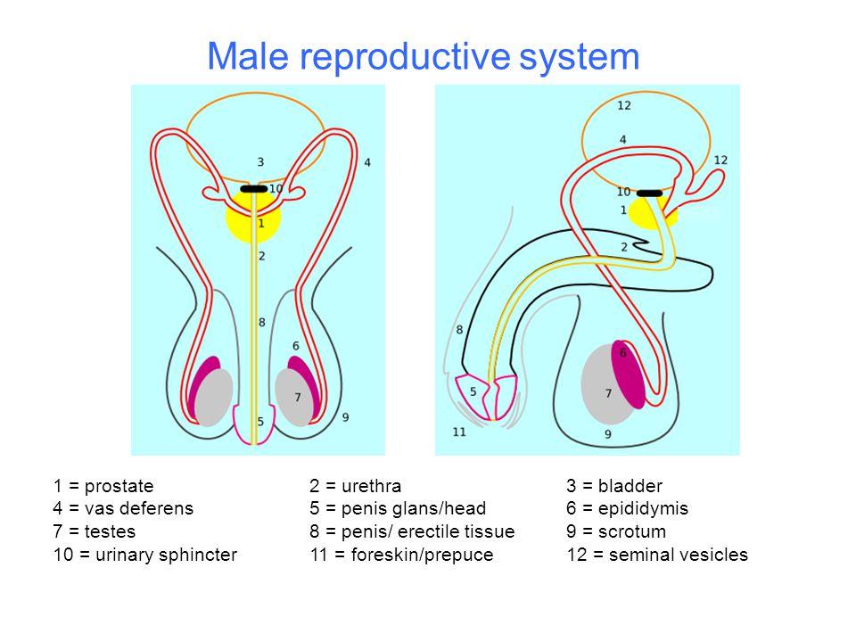 1 = prostate 2 = urethra3 = bladder 4 = vas deferens5 = penis glans/head6 = epididymis 7 = testes8 = penis/ erectile tissue9 = scrotum 10 = urinary sp
